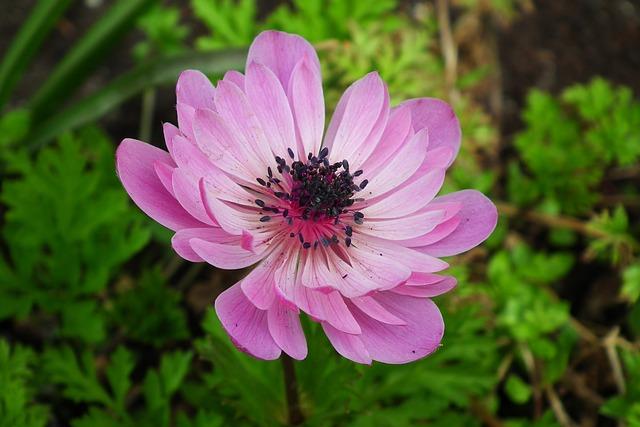 Nature, Plant, Flower, Anemone, Spring, Garden