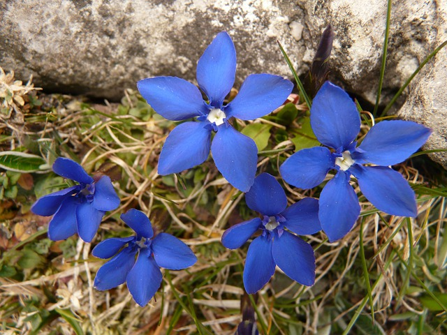Gentian, Spring Gentian, Alpine, Alphabet, Flower