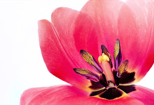 Tulip, Pink, Macro, Spring, Flower, Nature, Flora