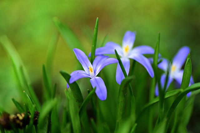 Glory Of The Snow, Flower, Plant, Spring, Springtime
