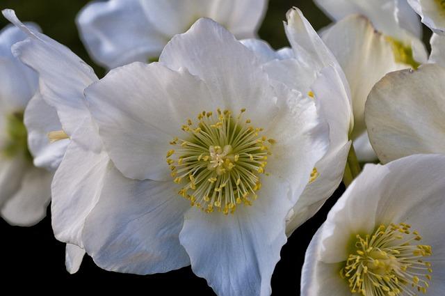 Anemone Sylvie, Anemone, Flower, Stamen, Garden, Nature