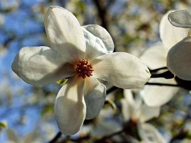 Star Magnolie, Star Magnolia, Flower, Plant, Flowers