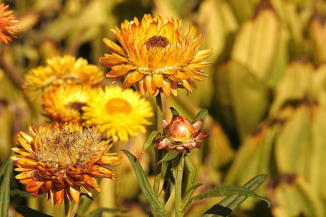 Straw Flowers, Yellow, Flower, Nature, Garden, Petals