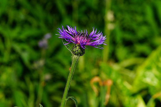 Mountain -flockenblume, Flower, Blossom, Bloom, Summer