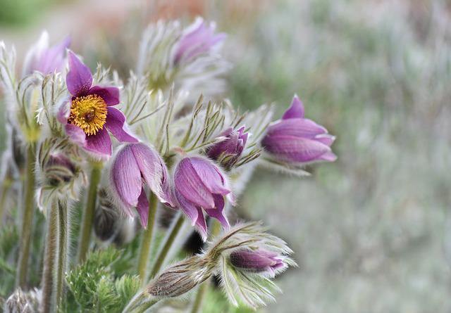 Flower, Plant, Nature, Flowers, Summer, Pasqueflower