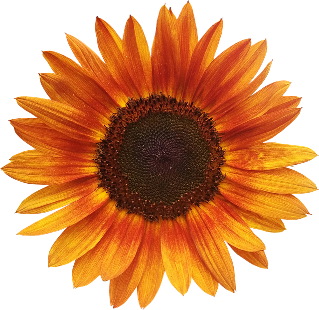 Flower, Sunflower, Summer, Orange, Flowers Isolated