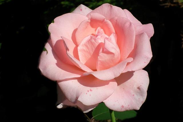Flower, Rose, Pink, Petal, Plant, Love, Summer