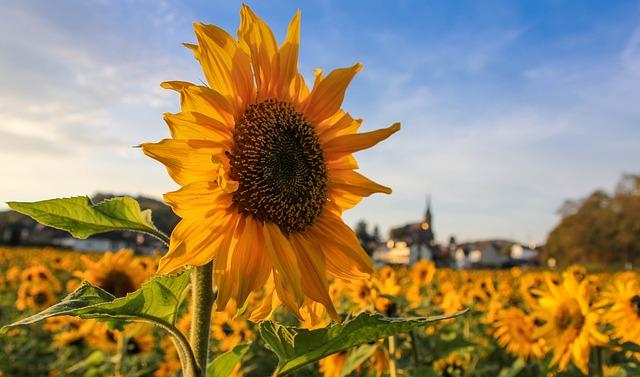 Nature, Plant, Sun Flower, Flower, Summer, Field