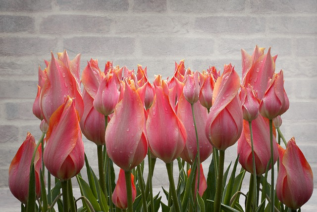 Tulip, Nature, Flower, Summer, Plant, Blossom, Bloom