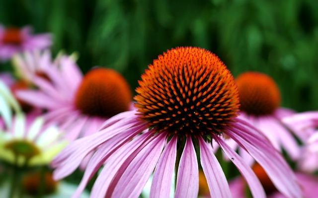 Echinacea, Flower, Sun Hat, Nature, Herbs, Botanical