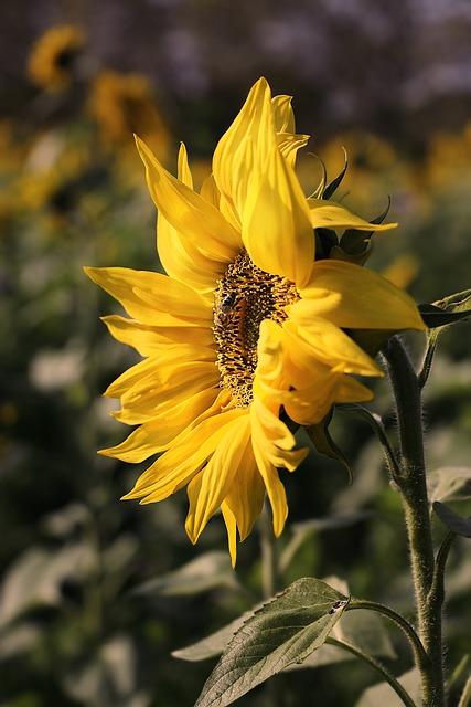 Sunflower, Flower, Blossom, Bloom, Composites