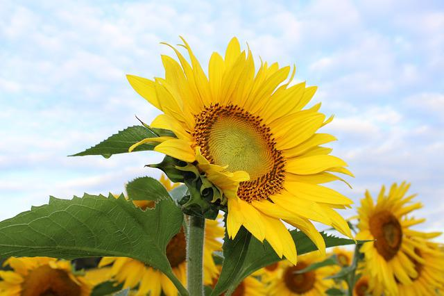 Sunflower, Flower, Yellow, Plant, Floral, Bloom