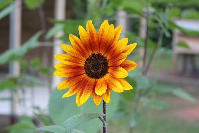 Nature, Flora, Flower, Summer, Garden, Sunflower