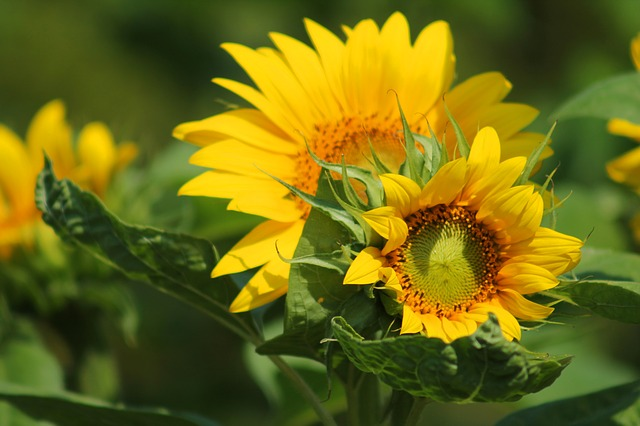 Sunflower, Flower, Yellow, Summer, Blossom, Bloom