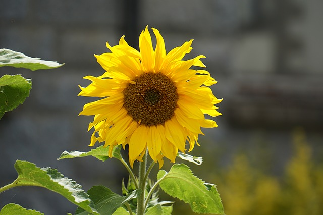 Sunflower, Flower, Yellow Flower, Yellow, Nature