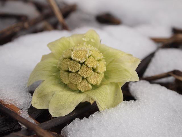 Butterbur, Hunt, Thaw, Plant, Snow, Flower