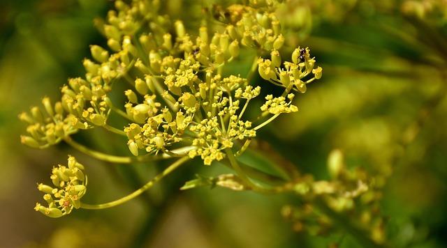 The Garden Parsnip, Pastinaca Sativa, Flower, Plant
