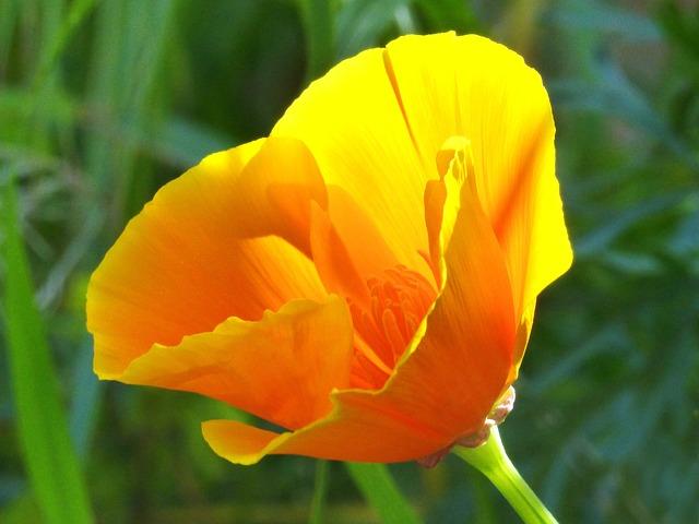 California Poppy, Yellow Poppy, Translucent, Flower