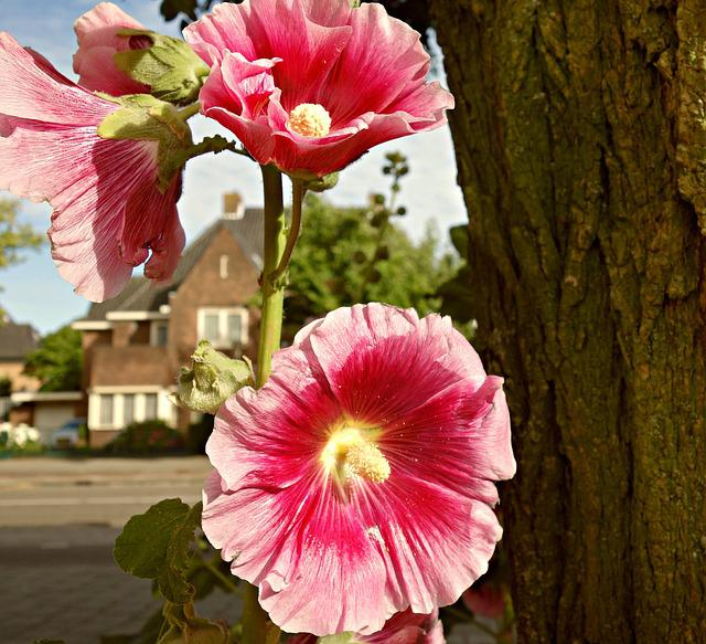 Flower, Hollyhock, Common Hollyhock, Bloom, Alcea, Tree