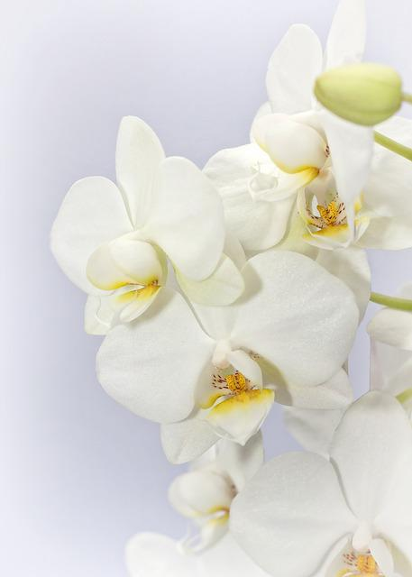 Phalaenopsis, Orchid, Weis, Flower, Tropical
