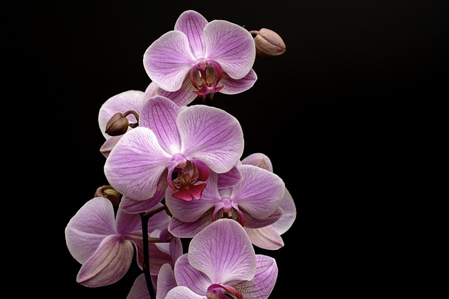 Orchid, Flower, Blossom, Bloom, Bud, Tropical, Violet