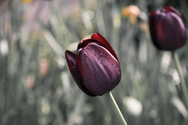 Tulip, Flower, Drip
