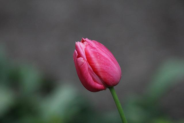Nature, Flower, Flora, Leaf, Outdoors, Tulip