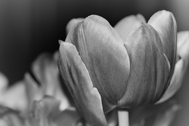 Tulip, Nature, Flower, Black And White Photography
