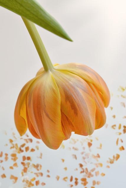 Flower, Tulip, Orange, Blossom, Bloom, Petals