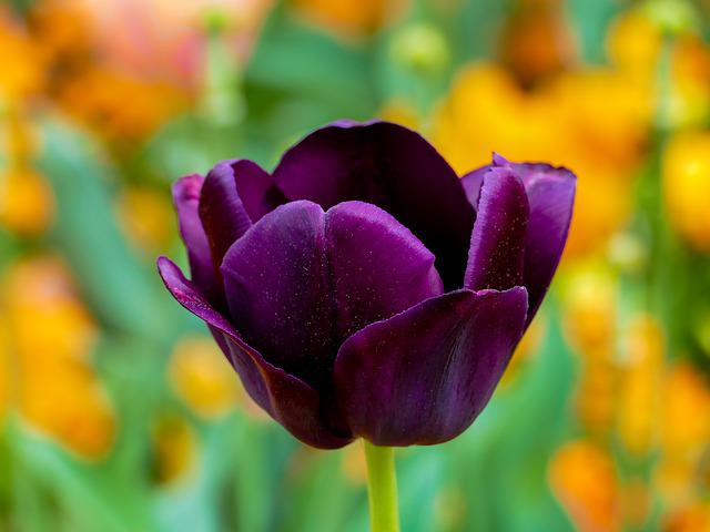 Tulip Purple, Bokeh Colorful, Flower, Solo, Nature