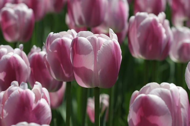 Flower, Tulip Festival, Tulip Festival Ottawa, Tulip