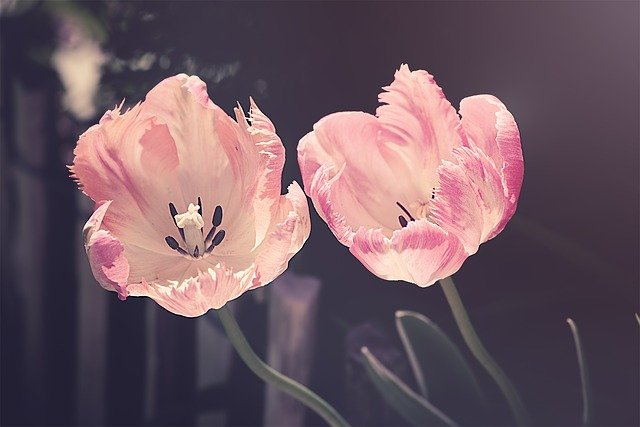 Tulips, Garden, Garden Flowers, Flower, Nature, Plant