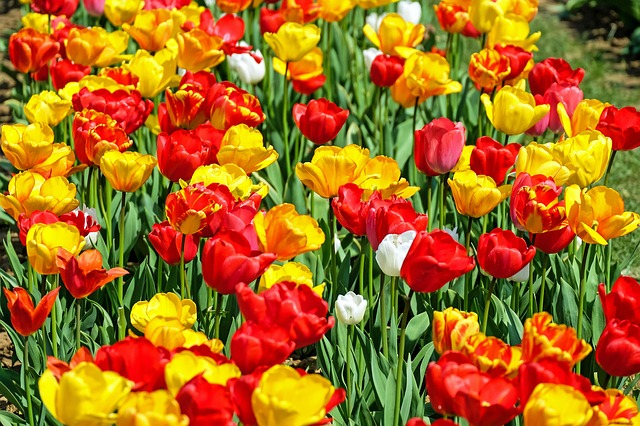 Tulips, Flower, Bloom, Red, Yellow, Early Bloomer