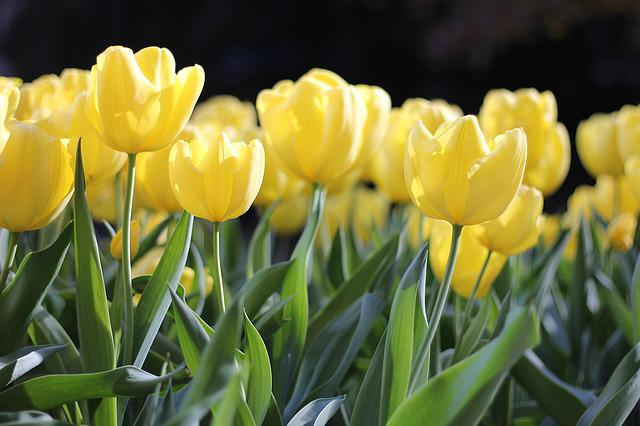 Tulips, Yellow, Spring, Green, Floral, Flower, Nature