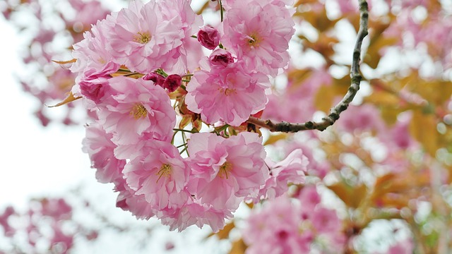 Cherry Tree, Cherry Blossom, Flower Umbel, Spring, Pink