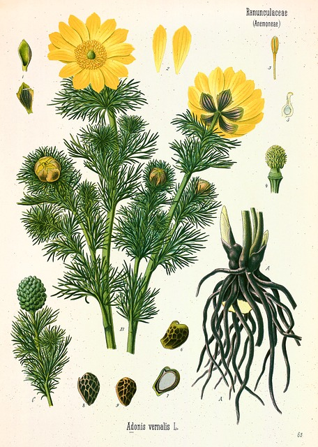 Yellow Adonis, Flower, Blossom, Bloom, Vernal Adonis