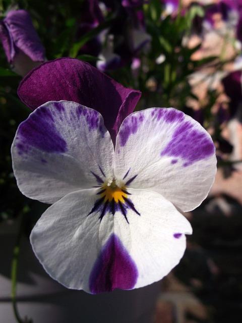 400–500, Violet-white, Violaceae, Flower
