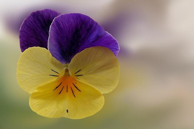 Pansy, Flower, Blossom, Bloom, Violet
