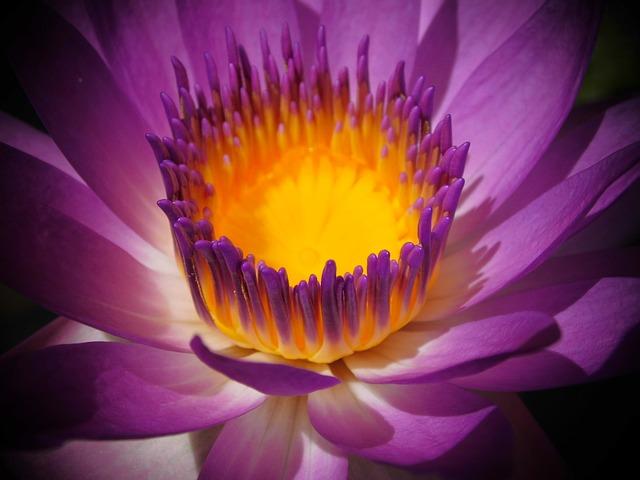 Flower, Purple, Water Lilies