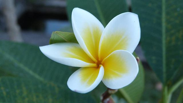 Bali, Flower, Frangipani, White, Yellow, Nature, Plant