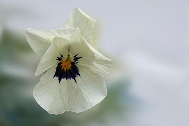 Pansy, Flower, Blossom, Bloom, Violet, Spring, White