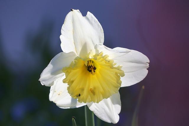 Narcissus, White, Light On, Flower, Spring, Blossom