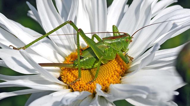 Grasshopper, Insect, Flower, White Flower, Petals