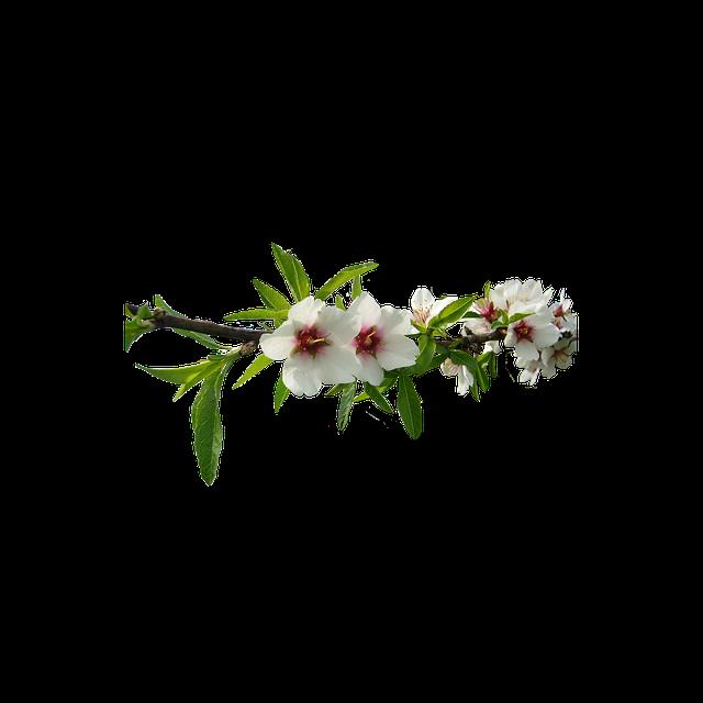 Almond Tree, White Flowers, Almond Tree Nature, Flower