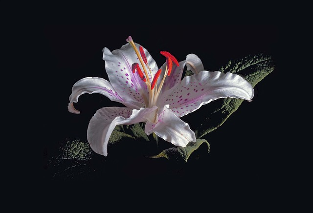 Lilly, White Lilly, Red Stamen, Flower, Blossom