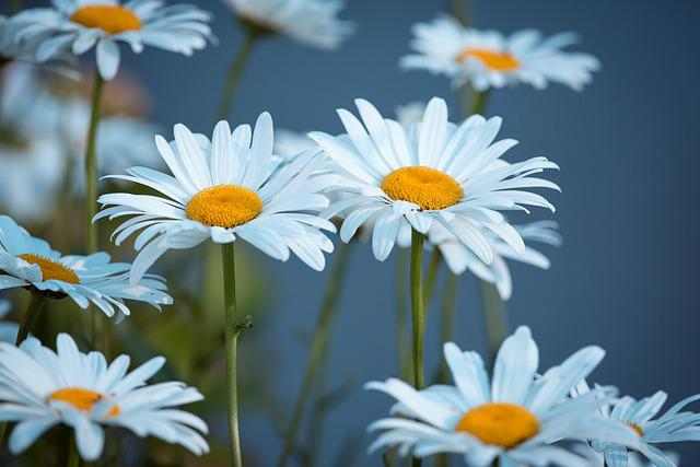 Marguerite, Meadow, Marguerite Meadow, Flower, White