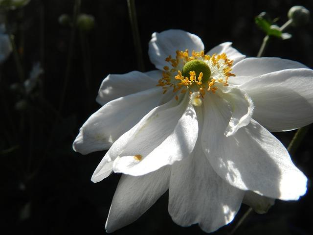 Anne Autumn Moon, Flower, Nature, Sunlight, White