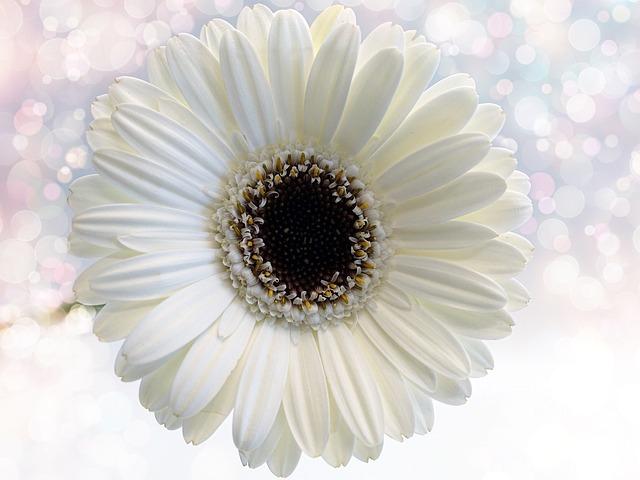 Flower, Gerbera, White, Nature, Plant, Color
