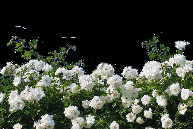 Roses, White Roses, Nature, Blossom, Bloom, Flower