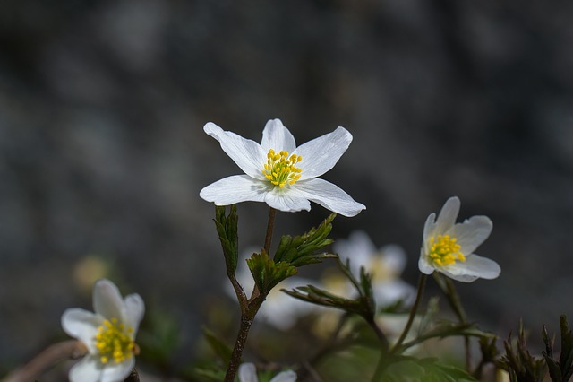 Wood Anemone, Spring, Flower, White